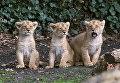 Детеныши азиатского льва в зоопарке города Мехелен, Бельгия. 30 марта 2016