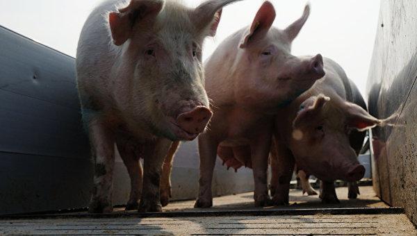 В Сумской области вспышка африканской чумы свиней