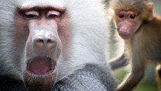 Обезьяны во вновь открывшемся зоопарке Сказка в Ялте