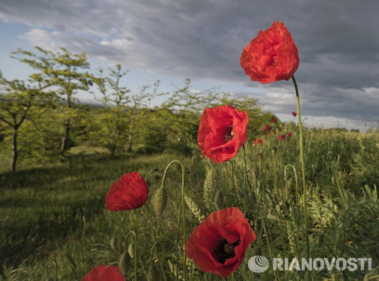 Цветущие маки в окрестностях Грушевого озера в Симферопольском районе Крыма