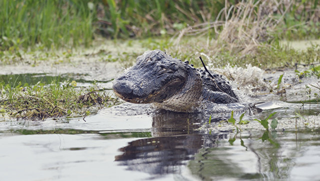 Сына главы города Кличко покусал аллигатор