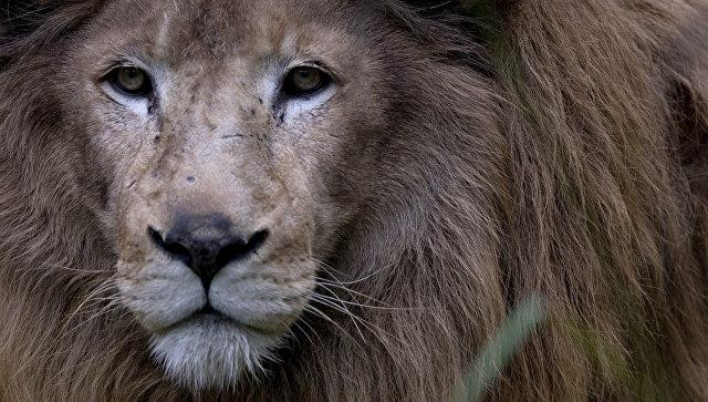 Лев вяпонском питомнике напал на 2-х смотрителей