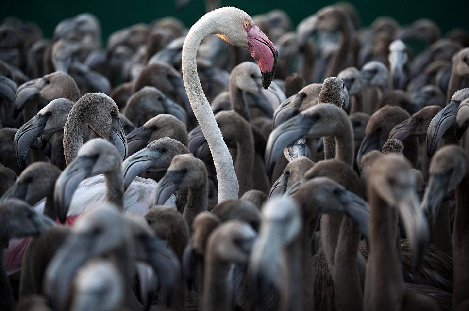 Фламинго в загоне во время операции по пересчету, взвешиванию и мечению птиц, болота Уэльва на юго-западе Испании, август 2016