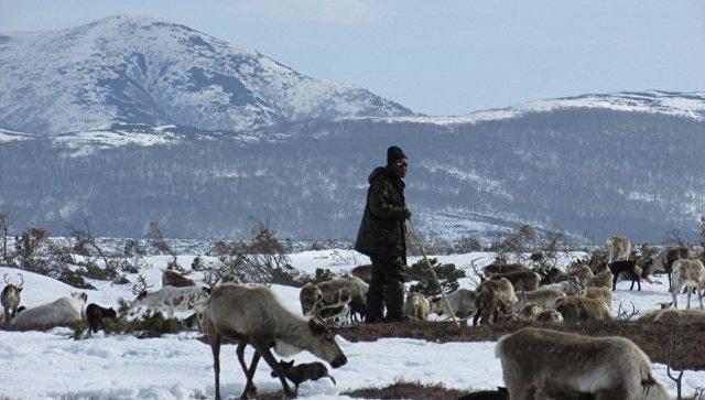 На Камчатке гендиректор сельхозартели задолжал оленеводам 16,5 млн рублей