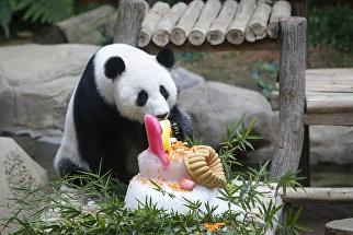 Празднование 10-го дня рождения панды по кличке Feng Yi в Национальном зоопарке в Куала-Лумпуре