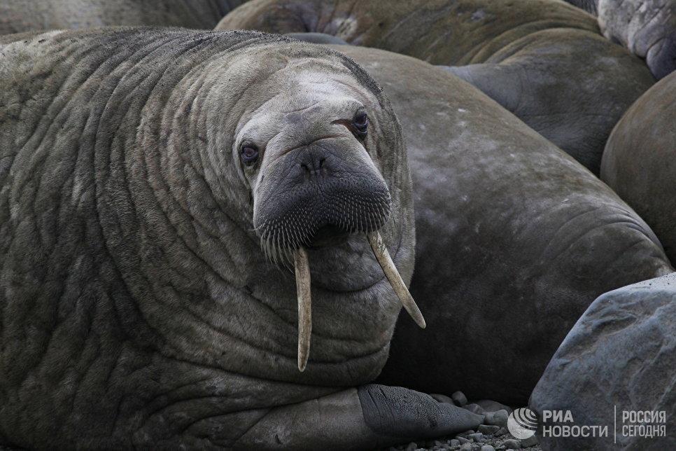 Морж на острове Мертвого Тюленя архипелага Земля Франца-Иосифа