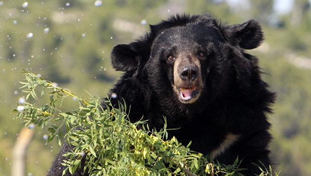 Граждане Хабаровского края отыскали усебя всарае пьяную медведицу