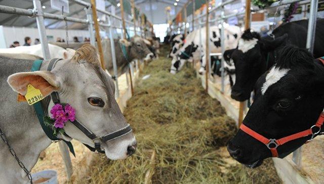 Загон с коровами