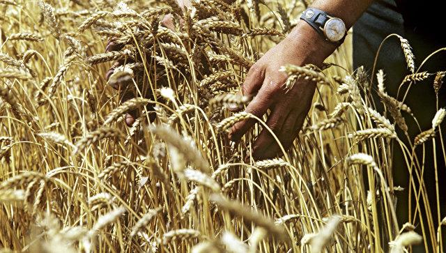 Пшеница, выведенная в Киевской области. Архивное фото