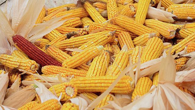 Сбор урожая кукурузы. Архивное фото