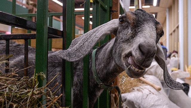 Нубийская коза на 18-й Российской агропромышленной выставке Золотая осень на территории ВДНХ