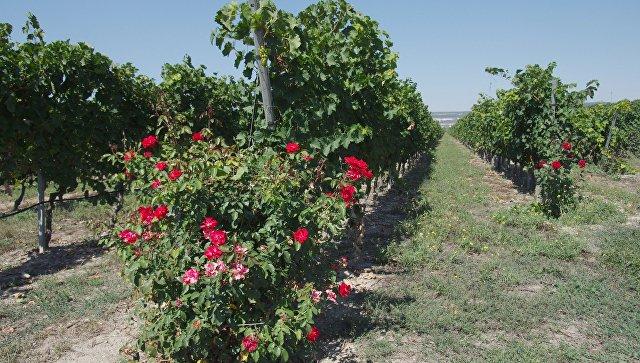 Нароссийское виноделие истратят 79 млрд. руб.