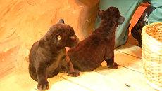 Первое появление на публике детенышей черного ягуара из зоопарка Лимпопо