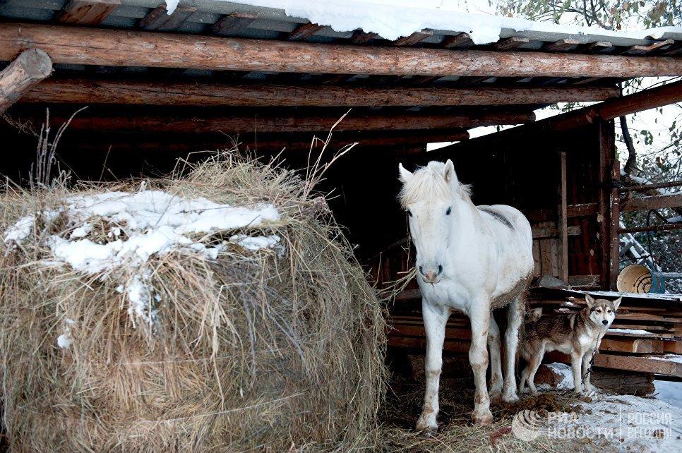 Лошадь и собака во дворе дома в селе Березовка Томской области