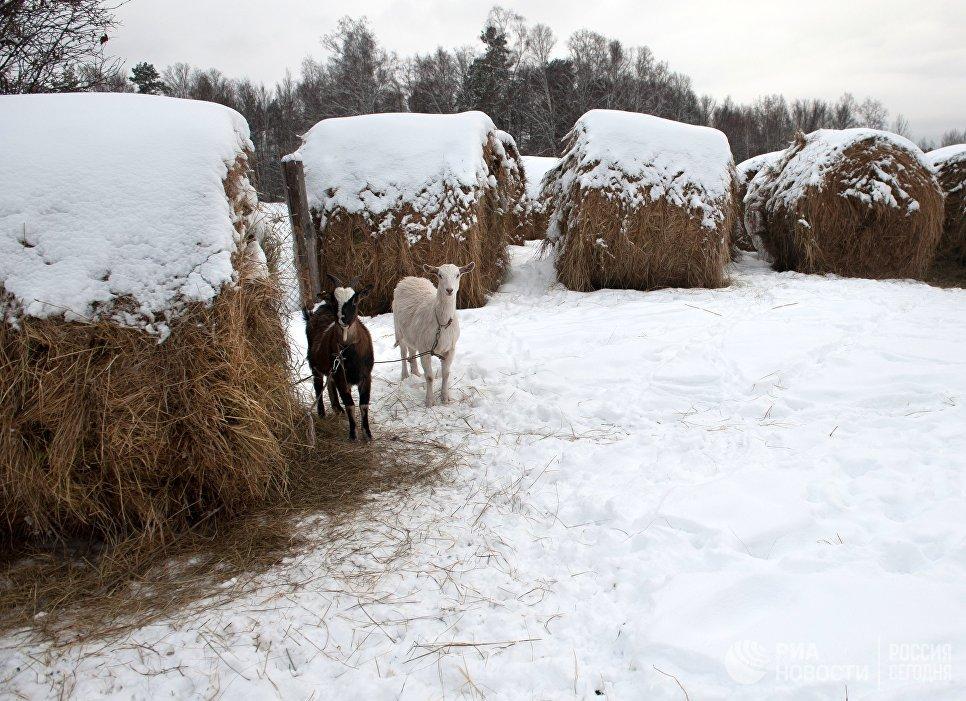 Козы и заснеженные стога сена в селе Березовка Томской области