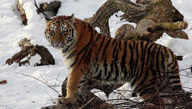 Удалось поймать тигрицу, державшую встрахе несколько поселков Хабаровского края
