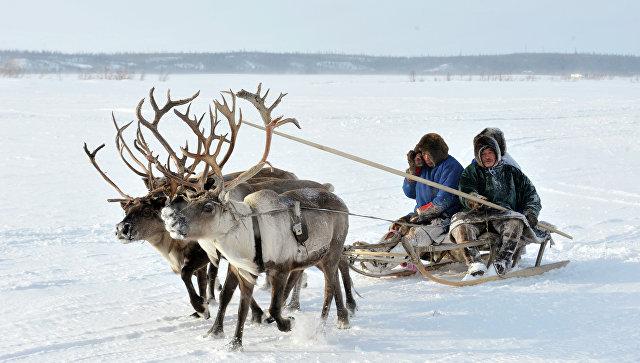 Олени Ненецкого округа привиты отсибирской язвы