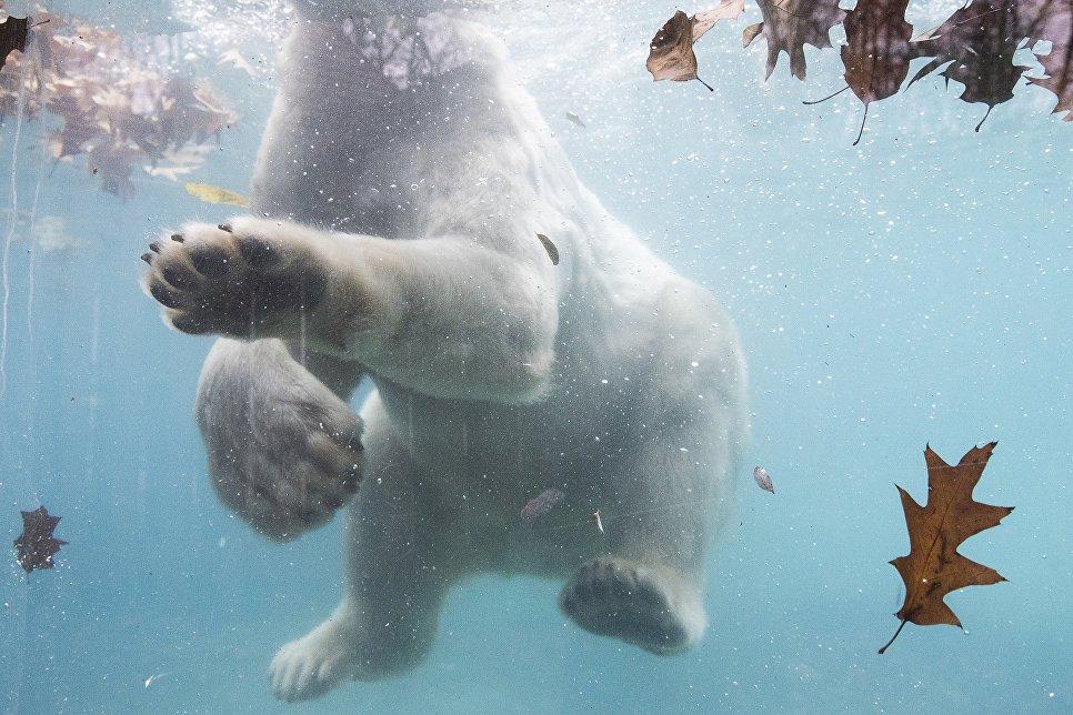 Белый медведь в зоопарке Ньиредьхазы, Венгрия. 16 ноября 2016