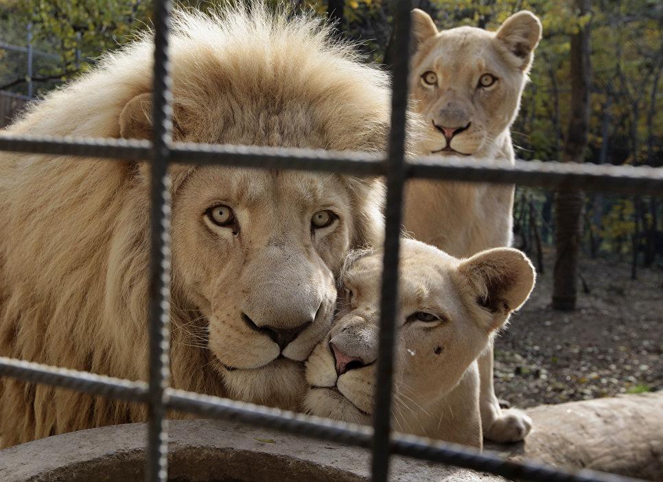 Львиная семья в зоопарке Тбилиси, Грузия. 16 ноября 2016