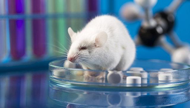 Лабораторная мышь. Архивное фото