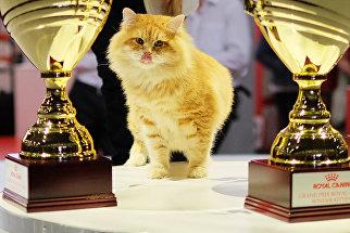 Кошка породы сибирская на выставке Гран-при Royal Canin в Москве