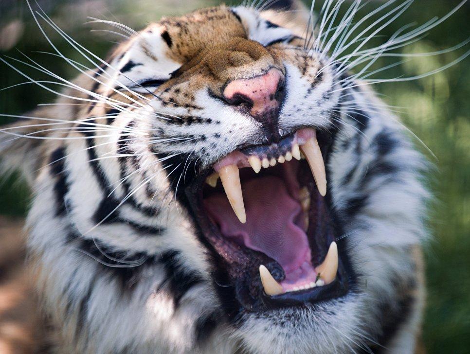Амурский тигр в сафари-парке Тайган