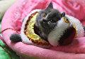 Кошка породы британская на выставке Кэт-Салон-Декабрь в Москве