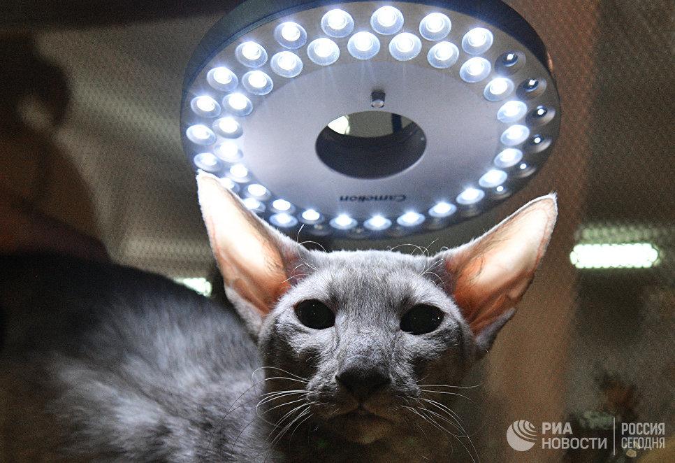 Кошка породы петерболд на выставке Кэт-Салон-Декабрь в Москве