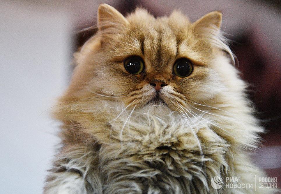 Кошка породы британская длинношерстная на выставке Кэт-Салон-Декабрь в Москве