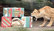 Львица открывает рождественские подарки в зоопарке в Гамбурге, Германия