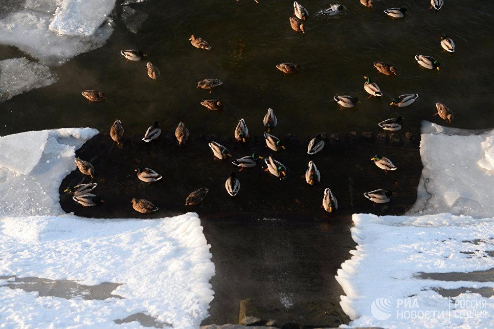 Утки в Москве-реке на Саввинской набережной