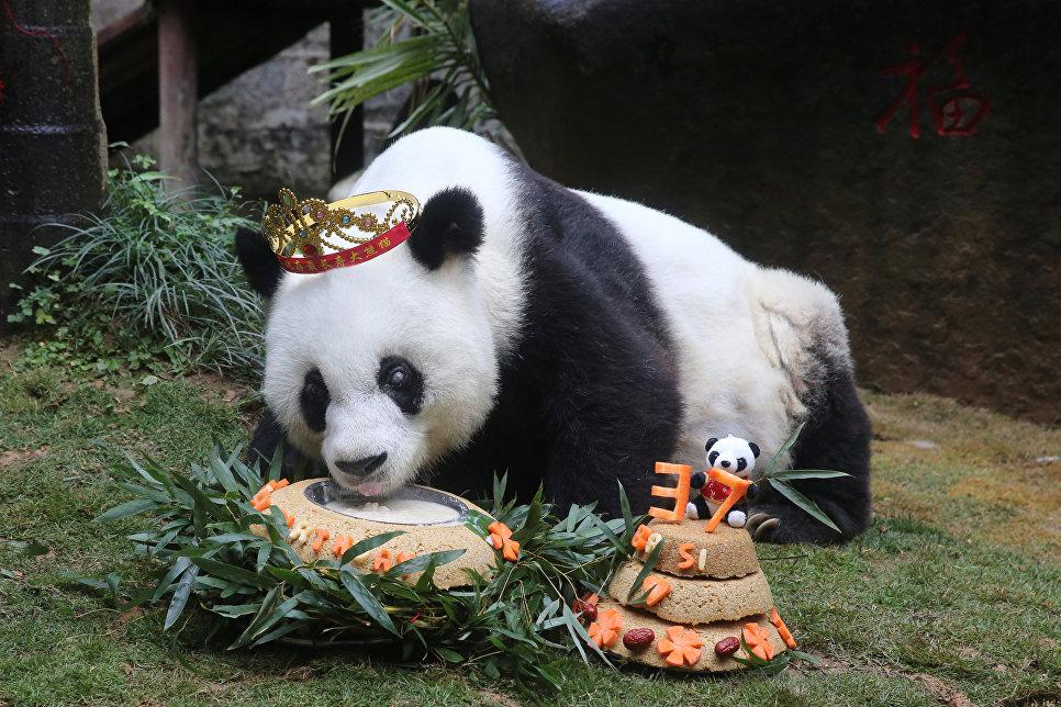 Старейшая в мире большая панда по кличке Басы отмечает 37-ой день рождения в Фучжоу, провинция Фуцзянь, Китай