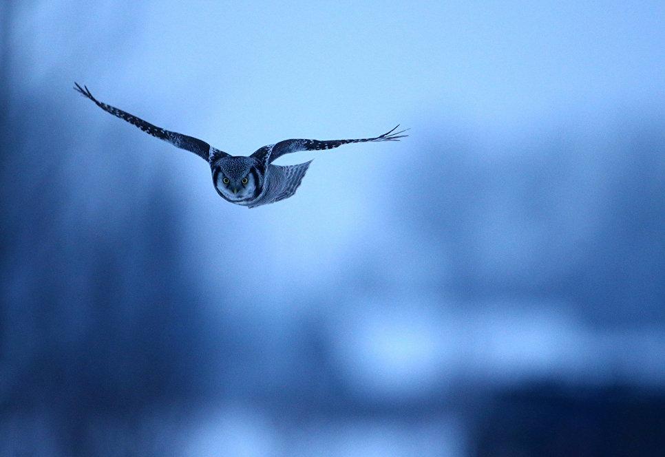 Ястребиная сова летит в поле недалеко от села Васильково, Беларусь