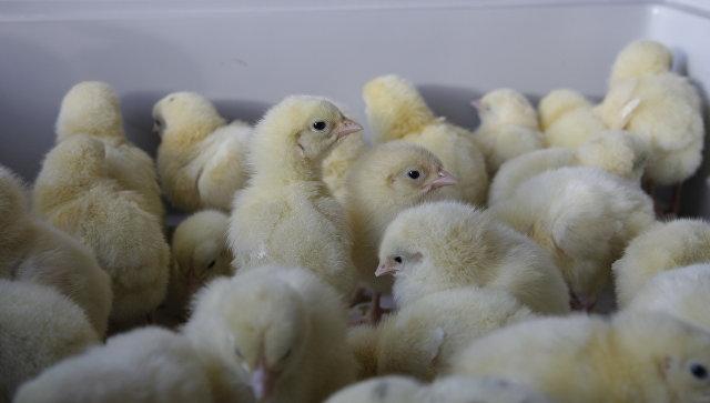 ВСоединенном Королевстве спасли тысячу брошенных вполе цыплят