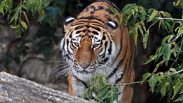 ВХабаровском крае умер тигр настойчивый