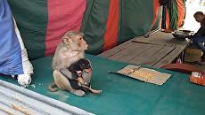 Моя хвостатая мама - обезьяна усыновила бездомного щенка в Индии