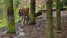 Тигры Сайхан и Лазовска начали самостоятельно охотиться