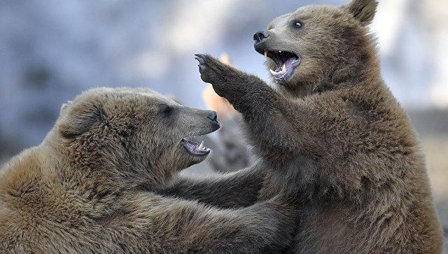 Молодые бурые медведи. Архивное фото