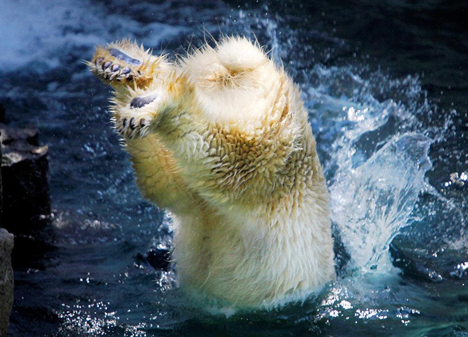 Полярная медведица в зоопарке Токио