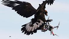 Беркут атакует дрон на военных учениях ВВС Франции