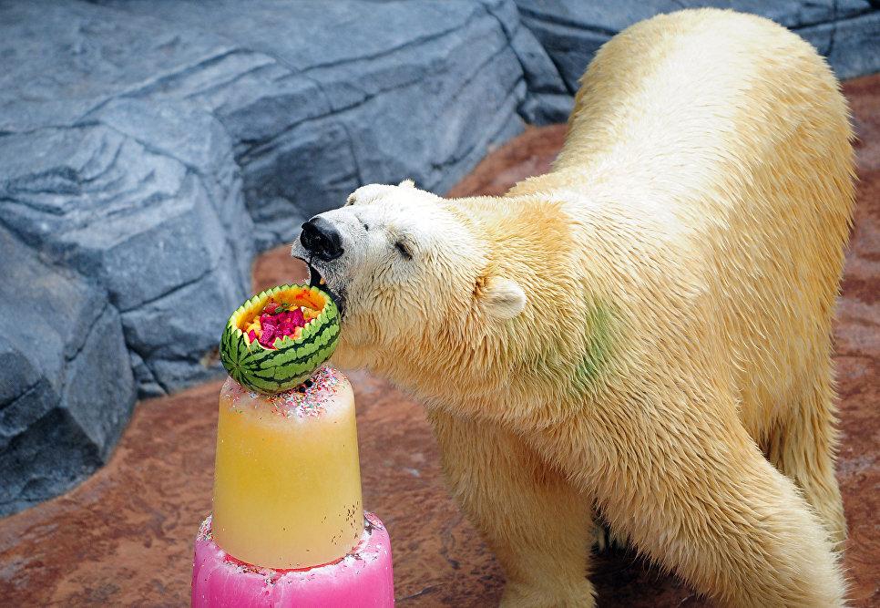 Полярный медведь ест замороженное угощение в зоопарке Сингапура