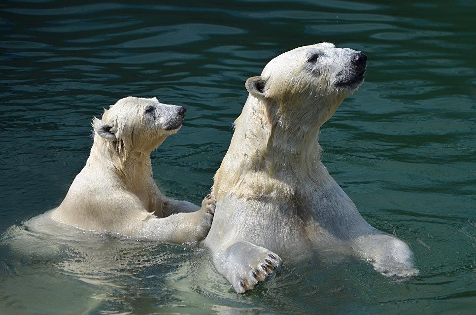 Белые медведи купаются