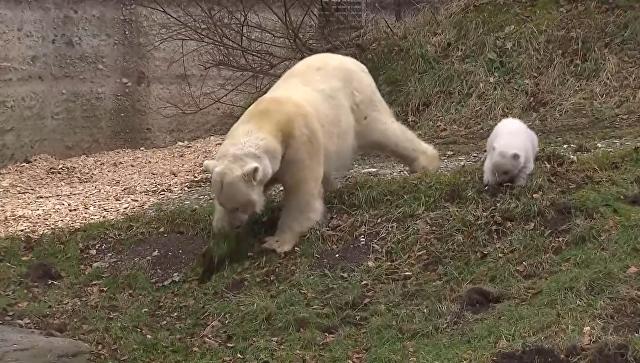 Трехмесячная медведица училась у мамы копать землю в зоопарке Мюнхена