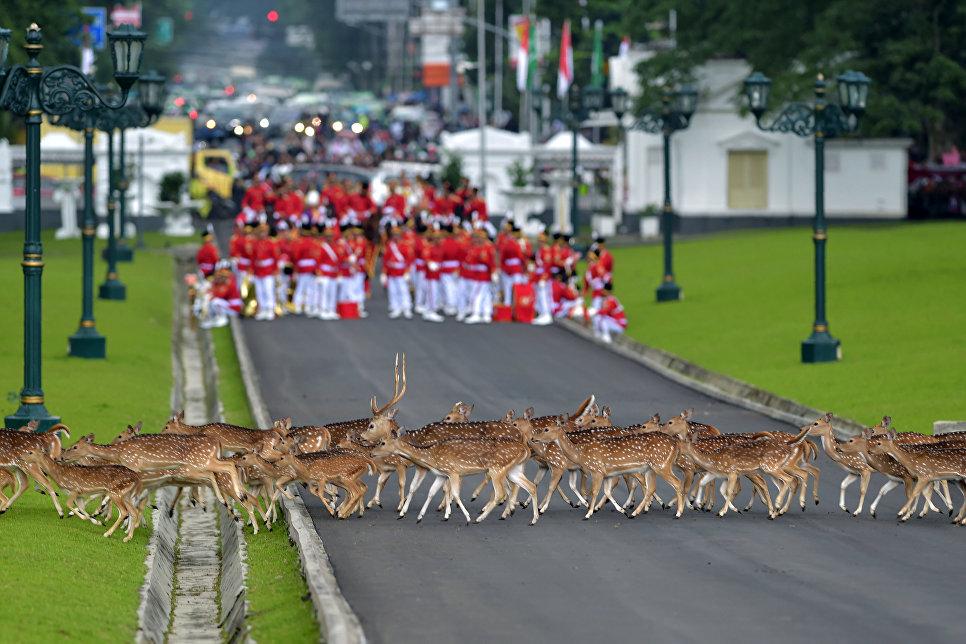Олени переходят дорогу перед почетным караулом Индонезии в Богоре