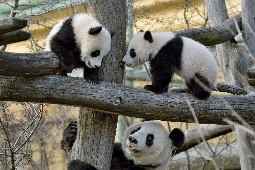 Детеныши панды со своей матерью в зоопарк Шенбрунн в Вене, Австрия