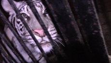 Дрессировщик успокаивал и подбадривал попавших в ДТП тигров под Оренбургом