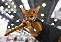 Кошка породы абиссинская в костюме на международной выставке Кэтсбург 2017 в Москве