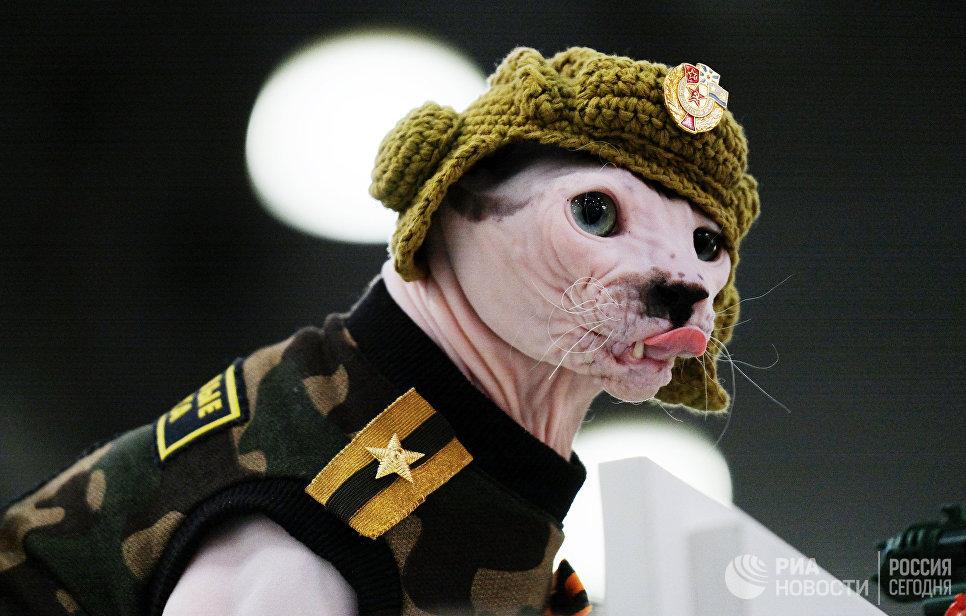 Кошка породы сфинкс в костюме на международной выставке Кэтсбург 2017 в Москве