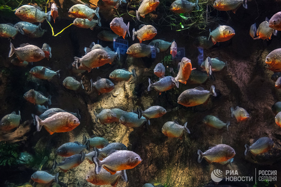 Пираньи в Санкт-Петербургском океанариуме