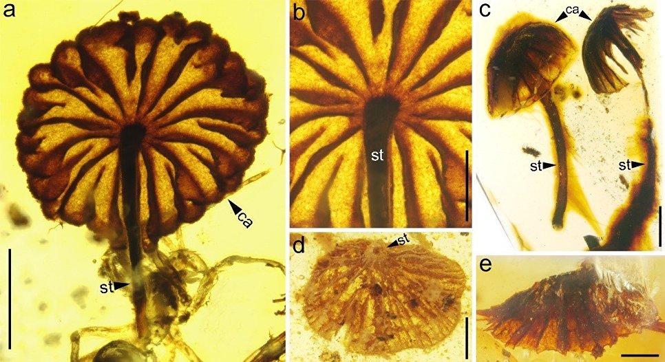 Ученые отыскали грибы, которым исполнилось 100 млн. лет